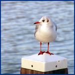 Title: Red White Blue Seagull