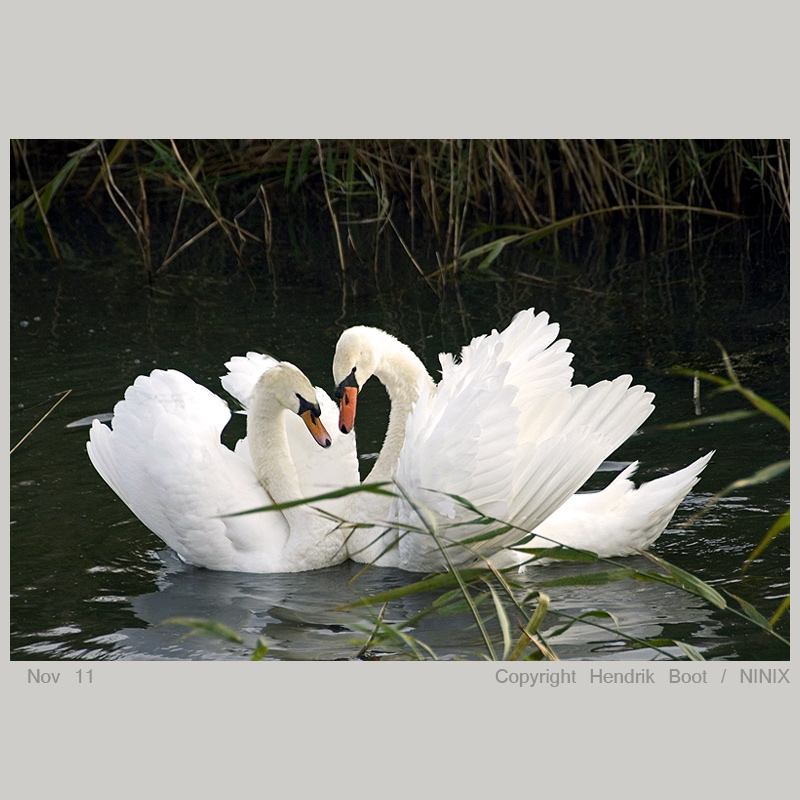 TOUCHING MOMENT OF THE SWANS