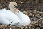 Title: Female swan on nest