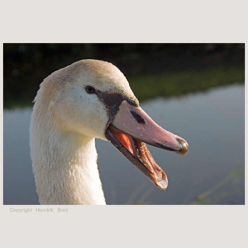 Blondy the young swan in bad mood