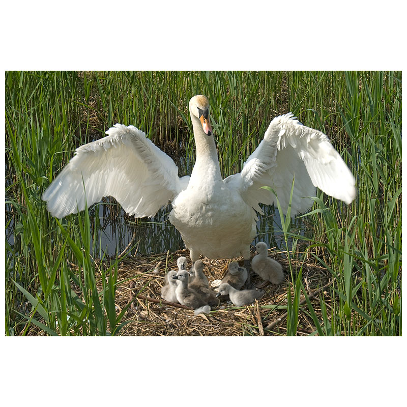 8 sygnets for the swans