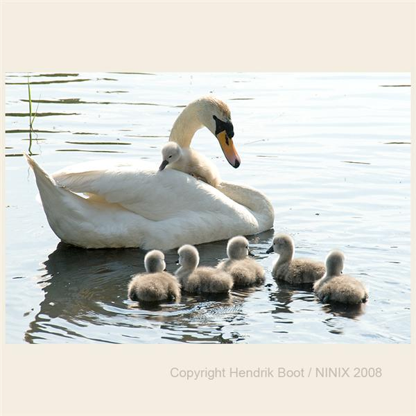 Litle hitchhiker swan 2
