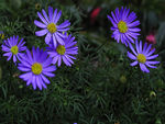 Title: Blue Aster