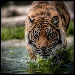 Title: Water Tiger