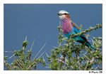Title: Abyssinian Roller