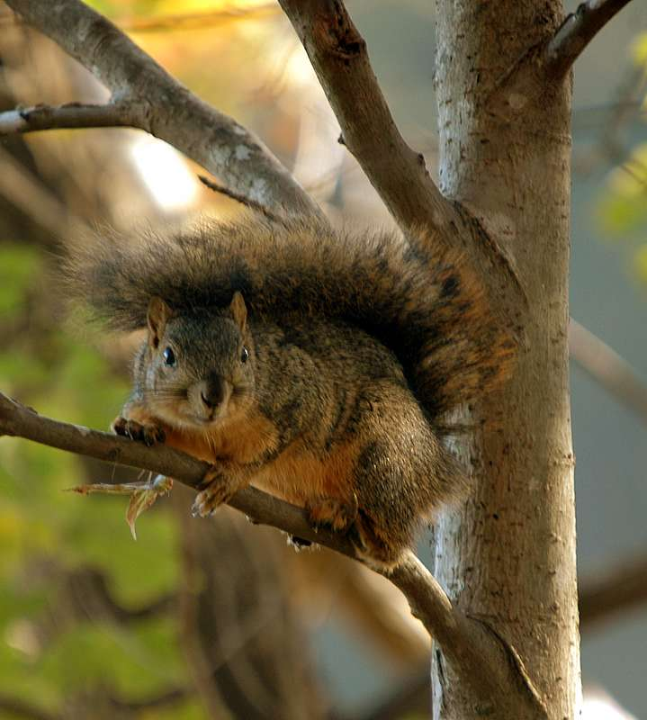 texas squirrel