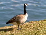 Title: Goose Confused