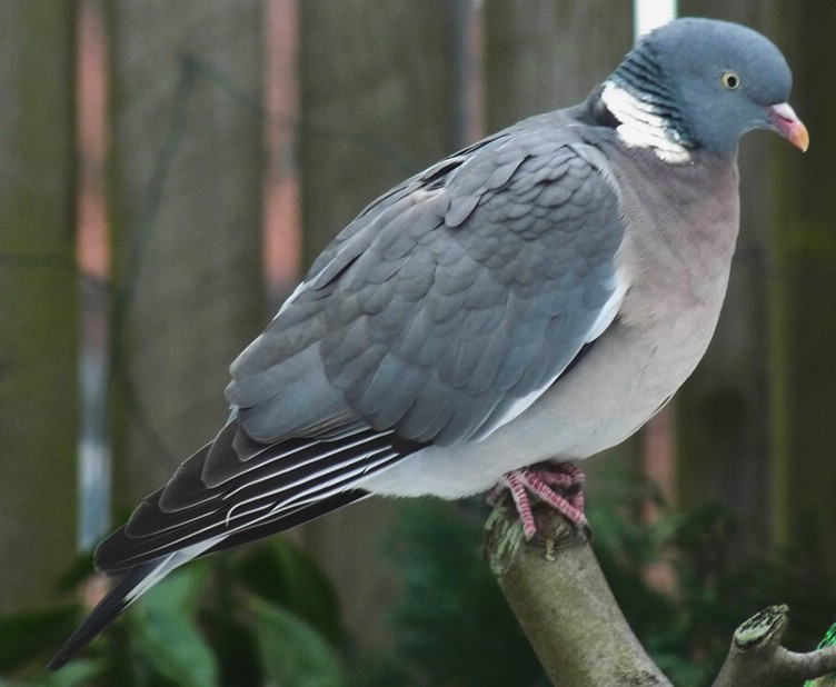 Town Pigeon