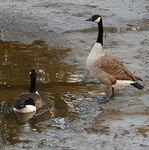 Title: Canadian goose