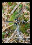 Title: My firt dragonfly on TN