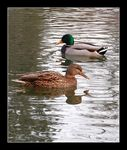 Title: ducks pair