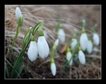 Title: First mountain snowdrops