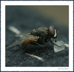 Title: House fly with sugar cube
