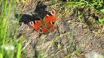 Title: Red Admiral ?