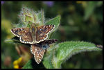 Title: Pyrgus sp. help for id