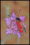 Title: Zygaena purpuralis Happy birthday to me