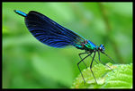Title: Calopteryx  virgo male