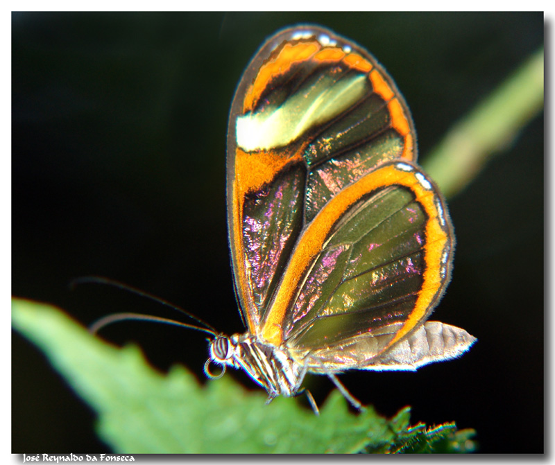 Transparent Butterfly Picture