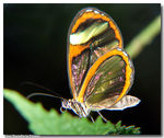 Title: Transparent butterfly...2