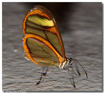 Title: Transparent butterfly...3