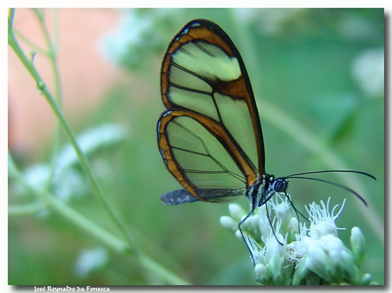 Transparent butterfly...