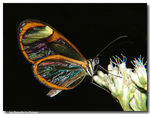 Title: Transparent butterfly ...4