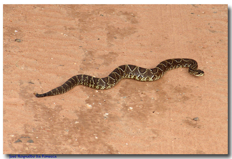 Rattlesnake - Crotalus durissus...