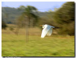 Title: The flight of the heron...