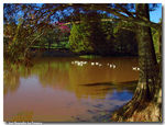 Title: Lake with geese...