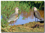 Title: Southern Lapwing...