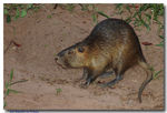 Title: Rat�o-do-banhado (Myocastor coypus)...