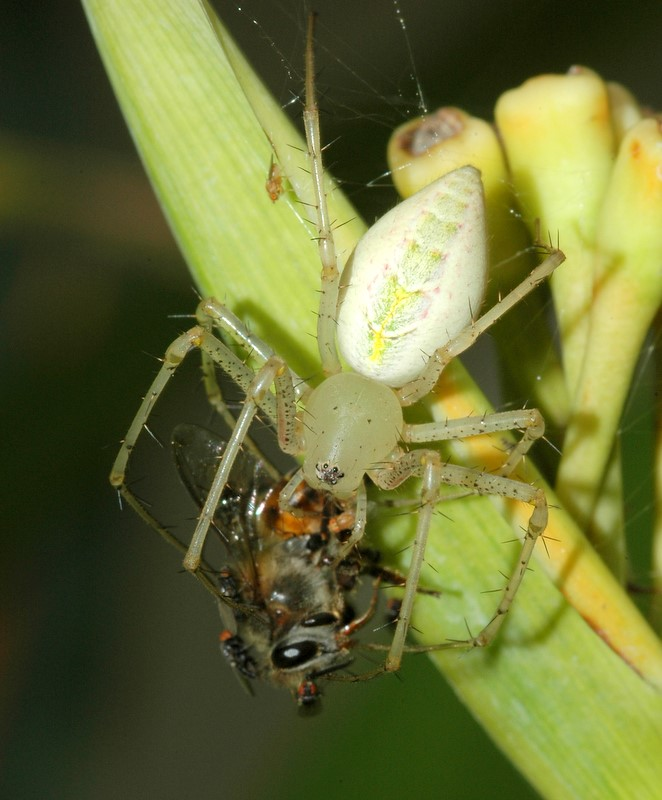 Lynx spider with bee