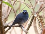 Title: White-bellied blue robinCanon  40D