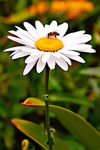 Title: Bee on Daisy