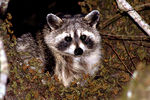 Title: Coon-Coon-Raccoon