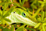 Title: Garden Lizard Up Close