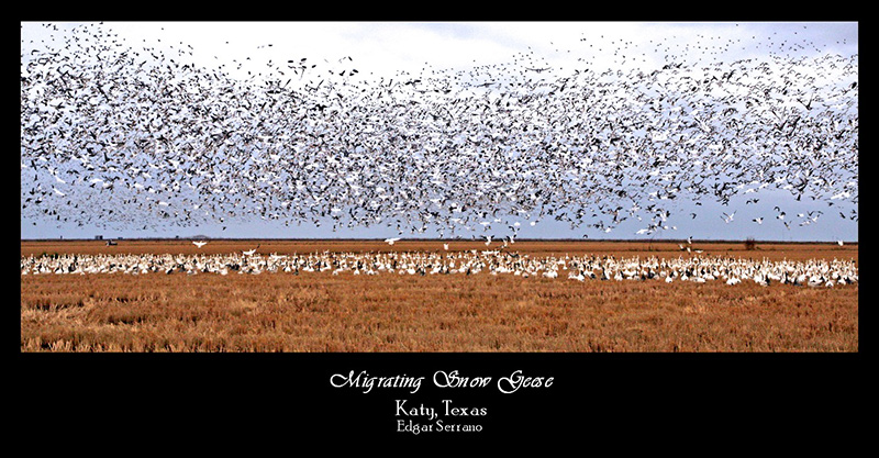 Migrating Snow Geese
