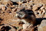 Title: Barbary Ground Squirrel