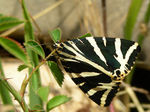 Title: Jersey Tiger