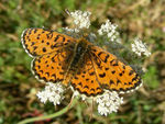 Title: Lesser Spotted Fritillary