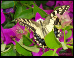 Title: My first papilio