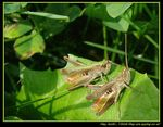 Title: Grasshopers