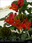Title: African Tulip Tree