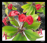 Title: Euphorbia milii - Crown of Thorns