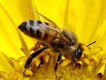 Title: Bee in the yellow