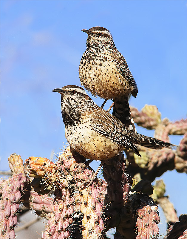Cactus Wren - Adult and Offspring