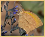 Title: Tailed Orange Butterfly -
