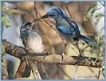 Title: Scrub Jay Feeding Offspring