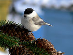Title: Willow Tit