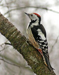 Title: Middle Spotted Woodpecker Camera: Nikon D80